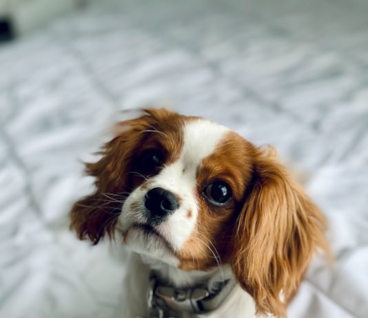 Små hunderacer til børnefamilier